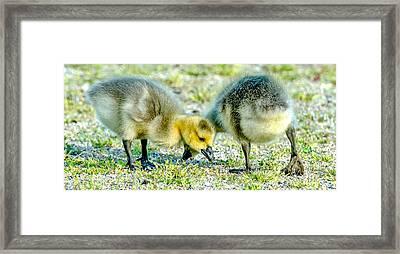 Goslings Snacking Framed Print