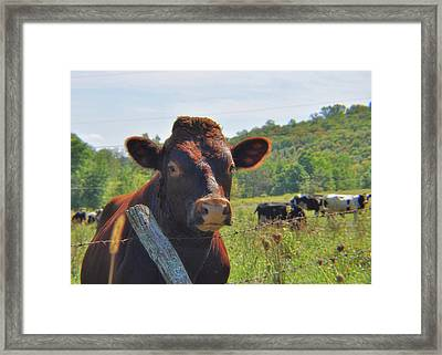 Got Milk Herd Framed Print by JAMART Photography
