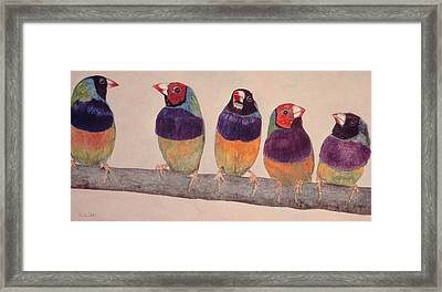 Gouldian Finches Framed Print