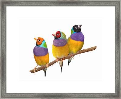 Gouldian Finches Framed Print