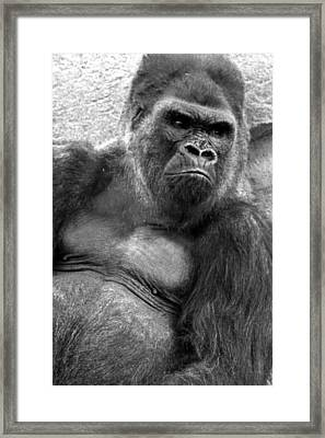 Gq Silverback Gorilla Framed Print by Brad Scott