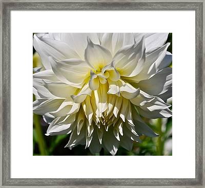 Graceful Dahlia  Framed Print