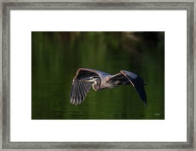 Graceful Flight Framed Print by Everet Regal