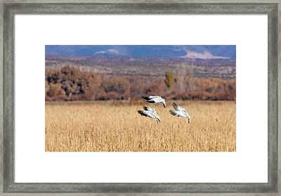 Graceful Landing - Snow Geese Framed Print by SharaLee Art