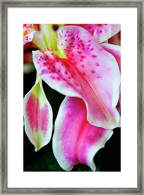 Graceful Lily Series 31 Framed Print by Olga Smith