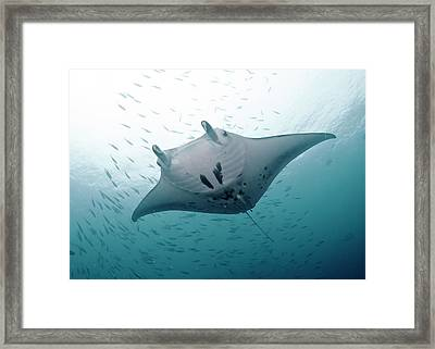 Graceful Manta Framed Print by Wendy A. Capili