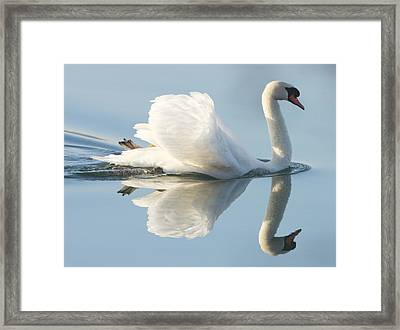 Graceful Swan Framed Print by Andrew Steele