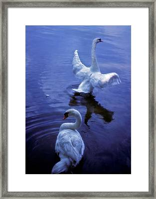 Graceful Swans Framed Print by Marie Hicks