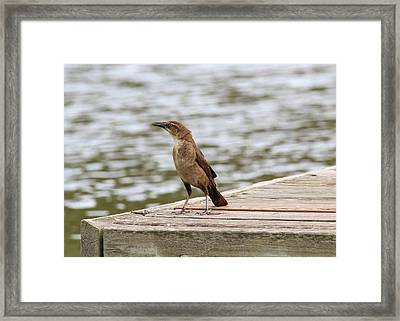 Grackle On A Dock Framed Print