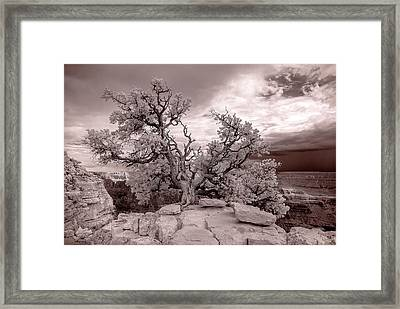 90285 Grand Cyn Pinon On Rock White Framed Print