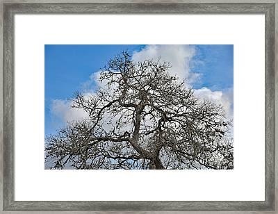 Grand Ole Texas Tree And Beautiful Sky Framed Print by Ray Shrewsberry
