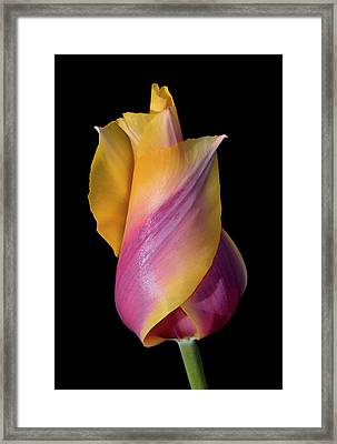 Grand Opening - Purple And Yellow Tulip 001 Framed Print