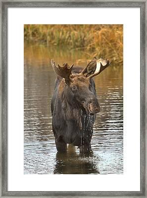 Grand Teton Drooling Moose Framed Print by Adam Jewell