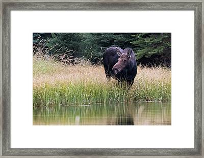Grand Teton Moose Framed Print