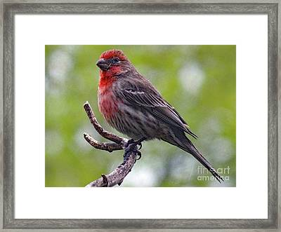 Grandeur - House Finch Framed Print