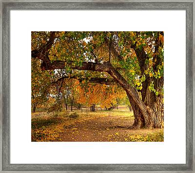 Grandfather Cottonwood Framed Print