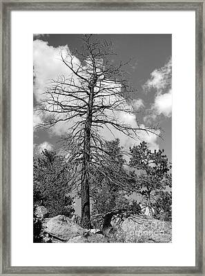 Grandfather Tree Framed Print