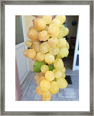 Grape From Chios Mountains In Greece Framed Print by Viktoriya Sirris