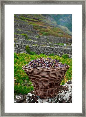 Grape Harvest Framed Print by Gaspar Avila