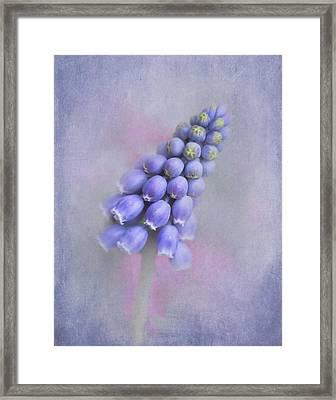 Grape Hyacinth Framed Print