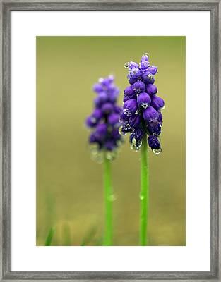 Grape Hyacinth Framed Print by Joseph Skompski