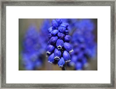 Grape Hyacinth - Muscari Framed Print by Donna Kennedy