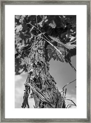 Grape Vine In Mono Framed Print by Georgia Fowler