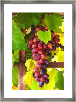 Grape Vine Framed Print by Utah Images