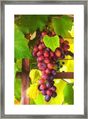 Grape Vine Framed Print