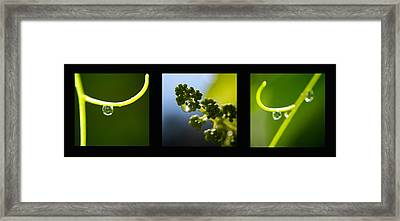 Grape Vines And Water Drops Triptych Framed Print by Lisa Knechtel