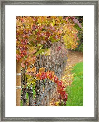 Grape Vines In Fall Framed Print by Jeff White
