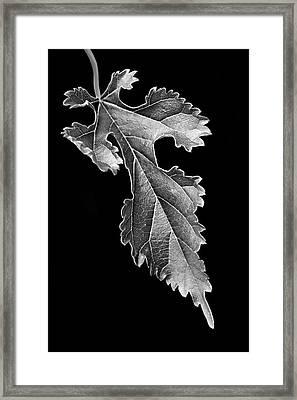 Grapeleaf Anemone Framed Print