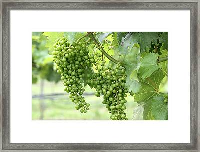 Green Vineyard Grapes Framed Print by Brian Manfra