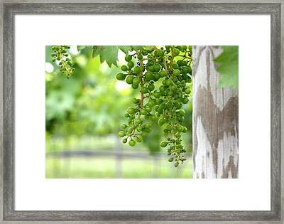 Grapes On The Vine Framed Print by Brian Manfra