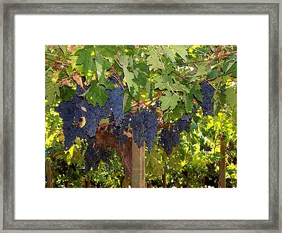 Grapes Are Ready Framed Print by Judy Kirouac
