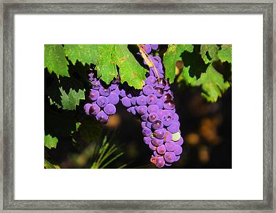 Grapes In The Sun Framed Print by Jeff Swan
