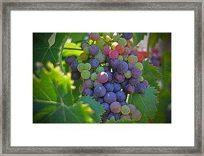 Grapes Framed Print by Kelly Wade