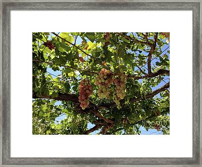 Grapes Of Athienou Cyprus  Framed Print by Clay Cofer