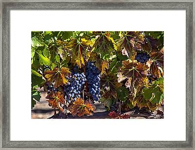 Grapes Of The Napa Valley Framed Print by Garry Gay