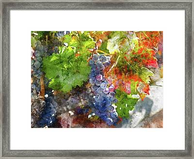 Grapes On The Vine In The Autumn Season Framed Print by Brandon Bourdages