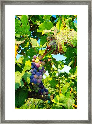 Grapes On The Vine  Framed Print by Jeff Swan