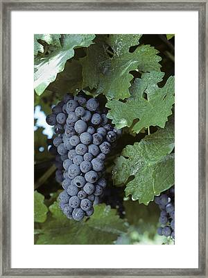 Grapes On The Vine Framed Print by Kenneth Garrett