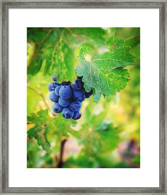Purple Grapes On The Vine - Napa Valley Framed Print