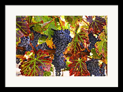 Grapevine Autumn Leaf Framed Prints