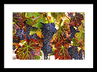 Grapevine Leaf Framed Prints
