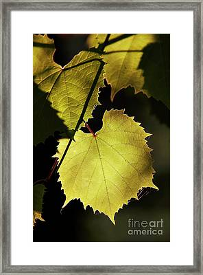 Grapevine In The Back Lighting Framed Print by Michal Boubin