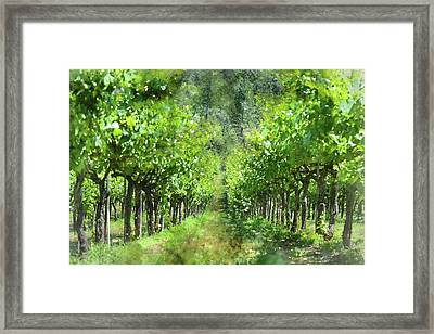 Grapevines In Spring Framed Print by Brandon Bourdages
