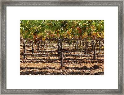 Grapevines In The Fall Framed Print by Brandon Bourdages