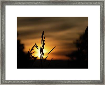 Grass At Sunset Framed Print