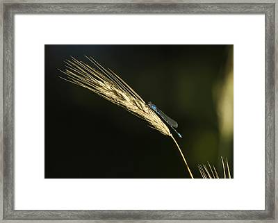 Grass With Blue Damsel Framed Print by Thomas Young